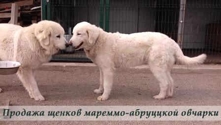 Щенки мареммо-абруццкой овчарки