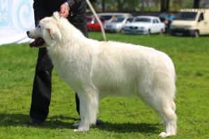 продажа породистых щенков польской подгалянской овчарки