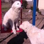 породистые щенки мареммо-абруццкой овчарки