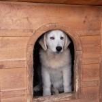 продам породистые щенки мареммо-абруццкой овчарки